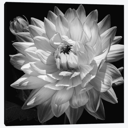 White Dahlia II Canvas Print #KEL53} by Caroline Kelly Canvas Art Print