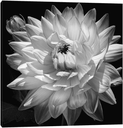 White Dahlia II Canvas Art Print