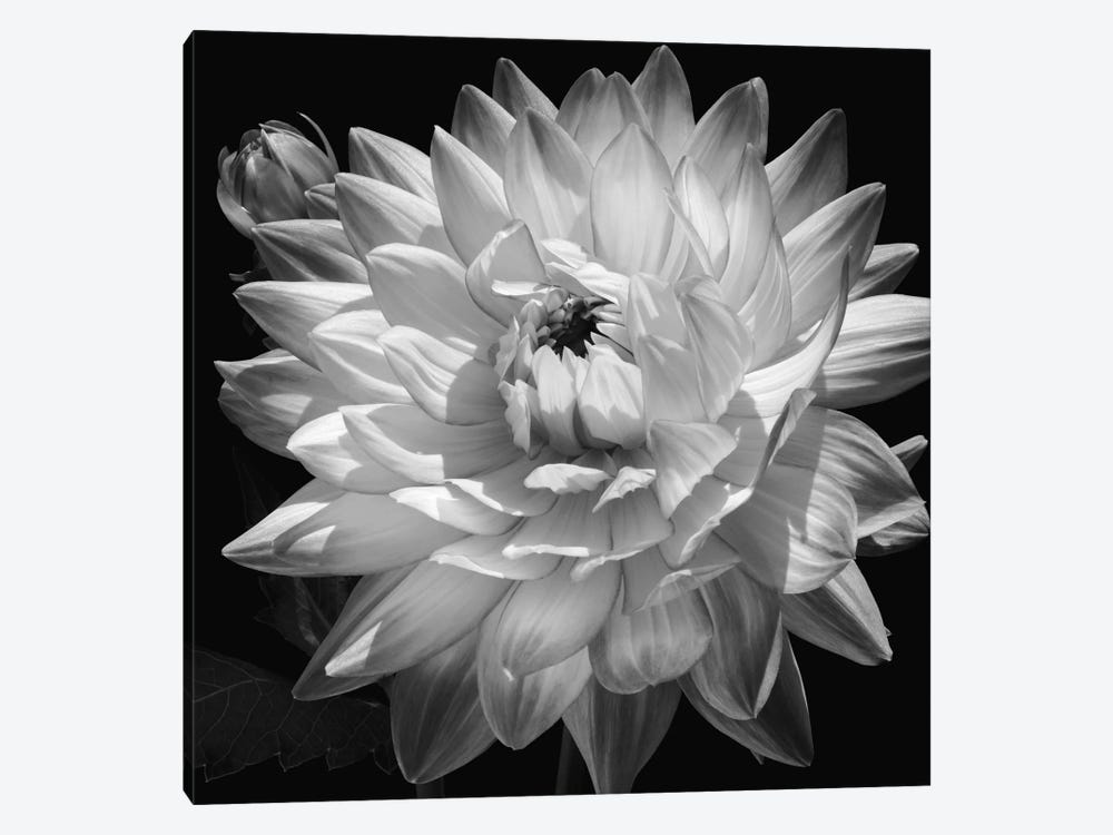 White Dahlia II by Caroline Kelly 1-piece Canvas Wall Art