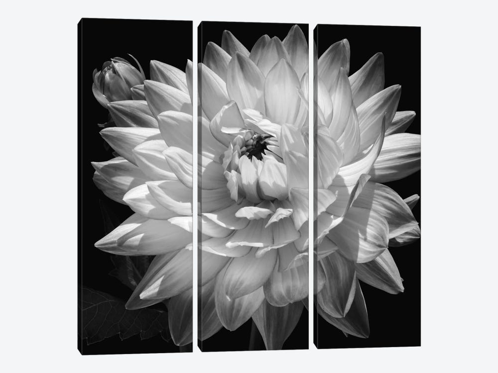 White Dahlia II by Caroline Kelly 3-piece Canvas Artwork