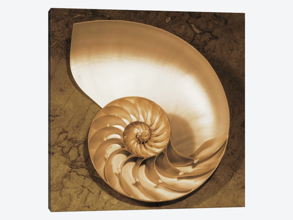 Chambered Nautilus by Caroline Kelly 1-piece Canvas Print