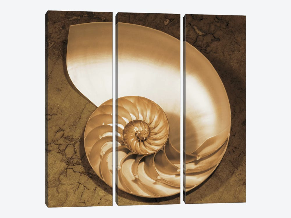 Chambered Nautilus by Caroline Kelly 3-piece Canvas Print