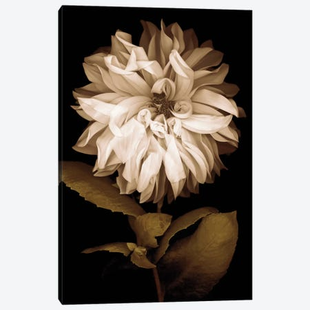 Dahlia I Canvas Print #KEL9} by Caroline Kelly Canvas Art Print