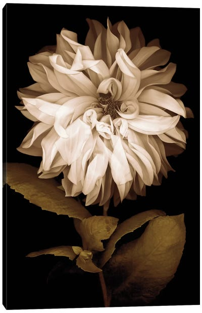 Dahlia I Canvas Art Print