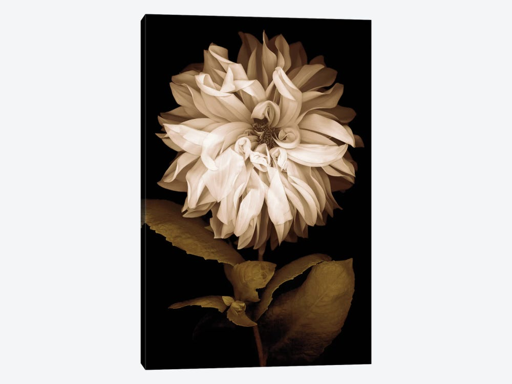 Dahlia I by Caroline Kelly 1-piece Art Print