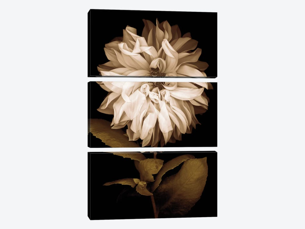 Dahlia I by Caroline Kelly 3-piece Art Print