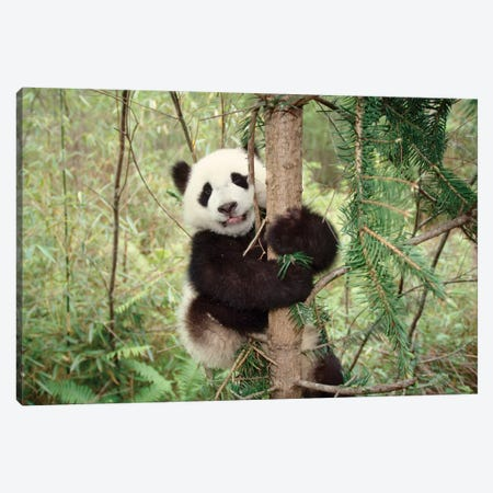 Panda Cub Playing On Tree, Wolong, Sichuan, China Canvas Print #KES10} by Keren Su Canvas Artwork