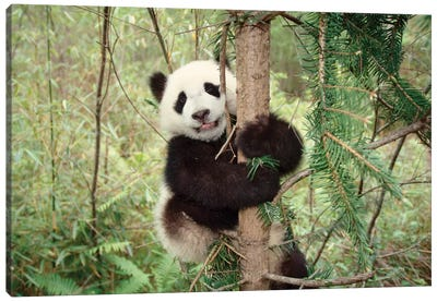 Panda Cub Playing On Tree, Wolong, Sichuan, China Canvas Art Print