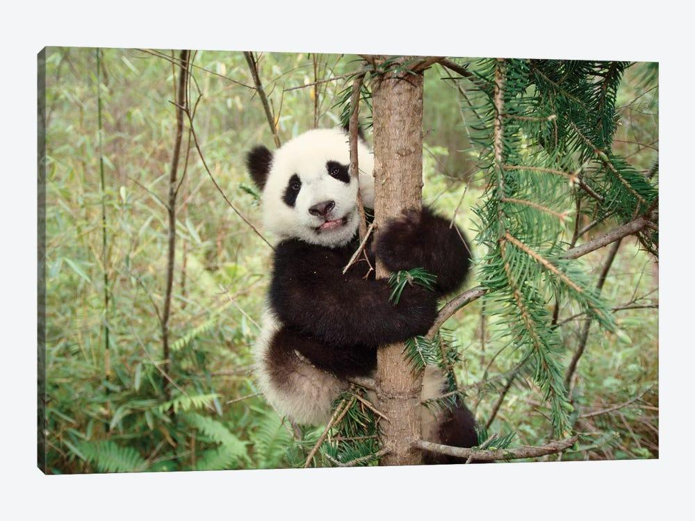 Panda Cub Playing On Tree, Wolong, Sichuan, China by Keren Su 1-piece Canvas Art