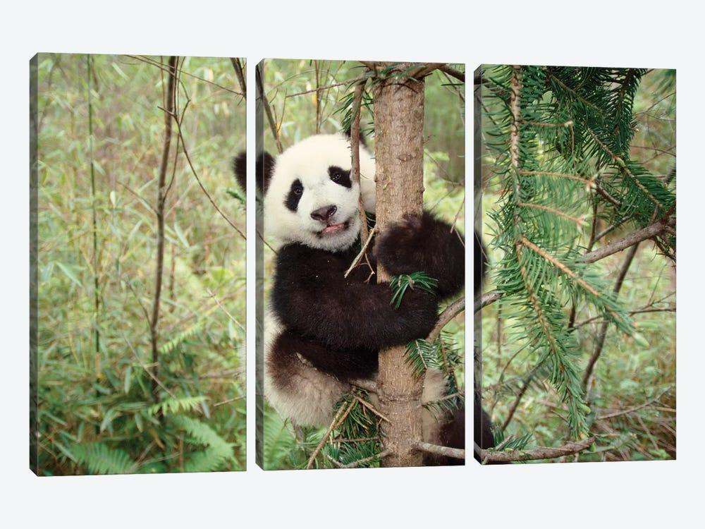 Panda Cub Playing On Tree, Wolong, Sichuan, China by Keren Su 3-piece Canvas Wall Art
