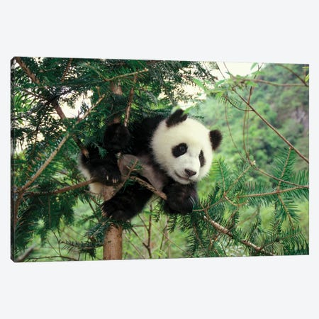 Giant Panda Cub Climbs A Tree, Wolong Valley, Sichuan Province, China Canvas Print #KES11} by Keren Su Canvas Wall Art