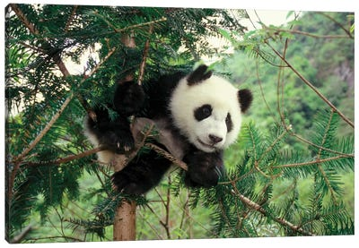Giant Panda Cub Climbs A Tree, Wolong Valley, Sichuan Province, China Canvas Art Print