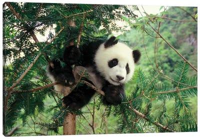 Giant Panda Cub Climbs A Tree, Wolong Valley, Sichuan Province, China Canvas Art Print