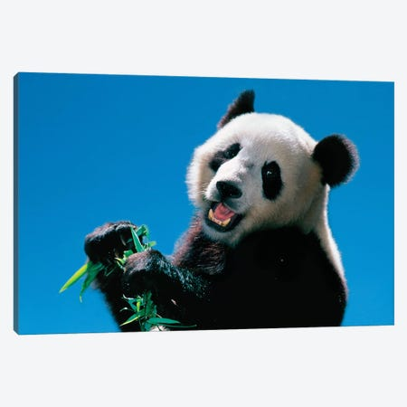 Panda Eating Bamboo, Wolong, Sichuan, China Canvas Print #KES12} by Keren Su Canvas Wall Art