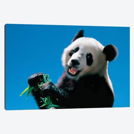 Panda Eating Bamboo, Wolong, Sichuan, China Canvas Print #KES12} by Keren Su Canvas Wall Art
