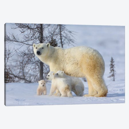 Mother Polar Bear With Three Cubs On The Tundra, Wapusk National Park, Manitoba, Canada Canvas Print #KES13} by Keren Su Canvas Artwork