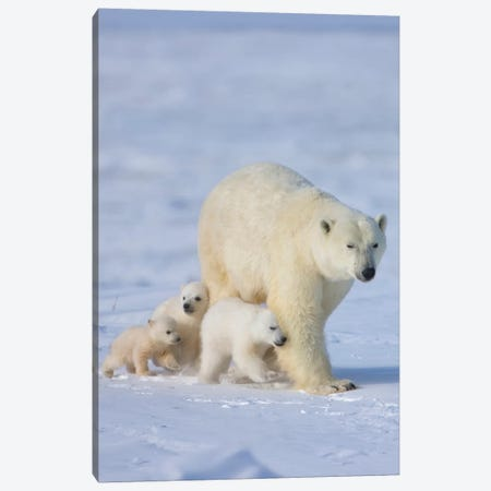 Mother Polar Bear With Three Cubs On The Tundra, Wapusk National Park, Manitoba, Canada Canvas Print #KES14} by Keren Su Canvas Print