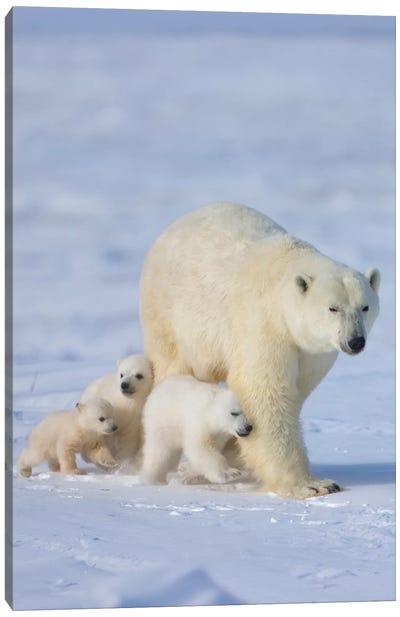 Mother Polar Bear With Three Cubs On The Tundra, Wapusk National Park, Manitoba, Canada Canvas Art Print