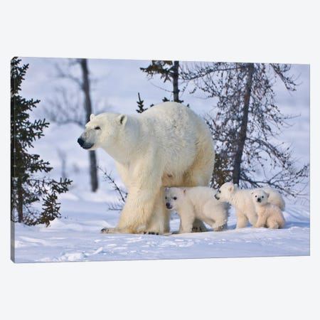 Mother Polar Bear With Three Cubs On The Tundra, Wapusk National Park, Manitoba, Canada Canvas Print #KES15} by Keren Su Canvas Print