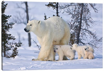 Mother Polar Bear With Three Cubs On The Tundra, Wapusk National Park, Manitoba, Canada Canvas Art Print