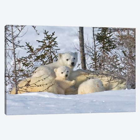 Mother Polar Bear With Three Cubs On The Tundra, Wapusk National Park, Manitoba, Canada Canvas Print #KES16} by Keren Su Art Print