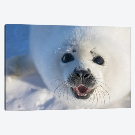 Harp Seal Pup On Ice, Iles De La Madeleine, Quebec, Canada Canvas Print #KES18} by Keren Su Canvas Artwork
