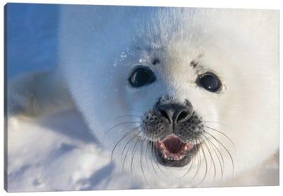 Harp Seal Pup On Ice, Iles De La Madeleine, Quebec, Canada Canvas Art Print