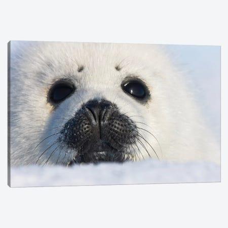 Harp Seal Pup, Close Up, Iles De La Madeleine, Quebec, Canada Canvas Print #KES19} by Keren Su Canvas Artwork