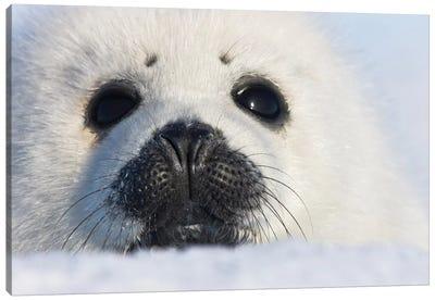 Harp Seal Pup, Close Up, Iles De La Madeleine, Quebec, Canada Canvas Art Print