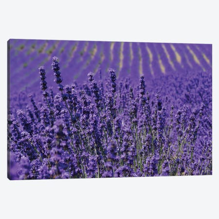 Lavender Farm, Furano, Hokkaido Prefecture, Japan Canvas Print #KES2} by Keren Su Art Print