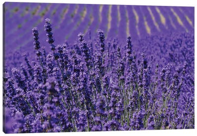 Lavender Farm, Furano, Hokkaido Prefecture, Japan Canvas Art Print