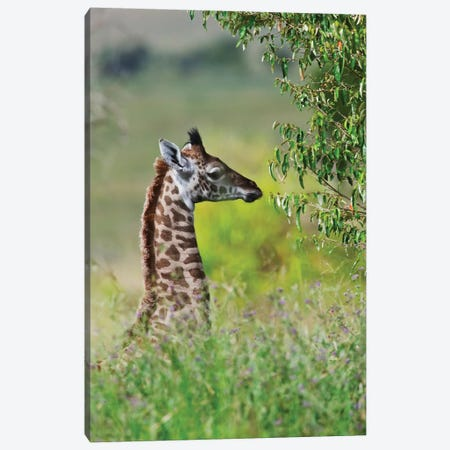 Baby Giraffe, Maasai Mara National Reserve, Kenya Canvas Print #KES4} by Keren Su Canvas Artwork