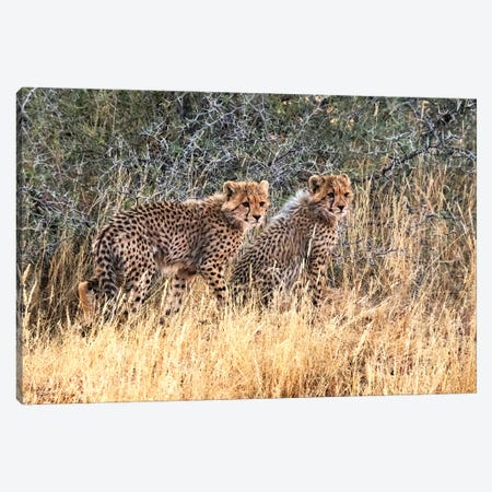 Cheetah cubs, Kgalagadi Transfrontier Park, South Africa 3-Piece Canvas #KES61} by Keren Su Canvas Print