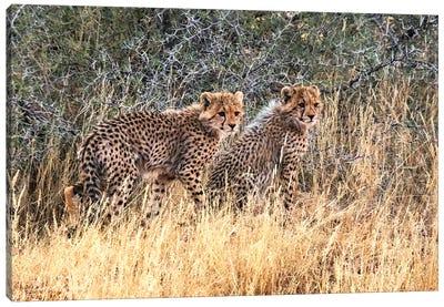 Cheetah cubs, Kgalagadi Transfrontier Park, South Africa Canvas Art Print