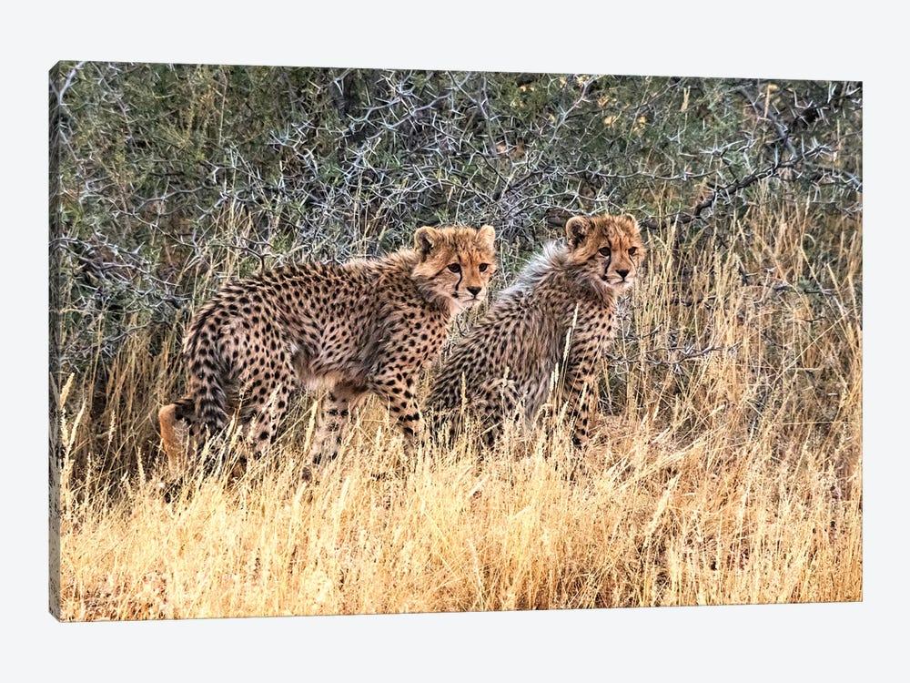 Cheetah cubs, Kgalagadi Transfrontier Park, South Africa by Keren Su 1-piece Canvas Art