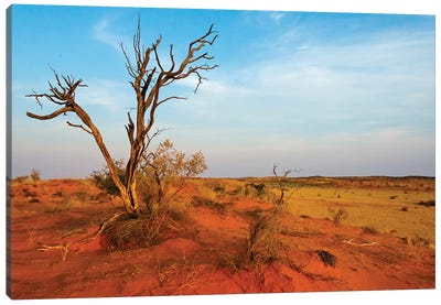 Dead tree on red sand desert, Kgalagadi Transfrontier Park, South Africa Canvas Art Print