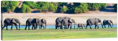 Elephant herd, Chobe National Park, North-West District, Botswana Canvas Art Print