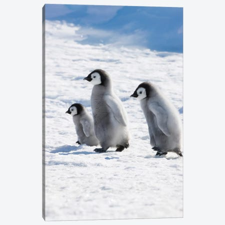Emperor Penguin Chicks On Ice, Snow Hill Island, Antarctica Canvas Print #KES6} by Keren Su Canvas Wall Art