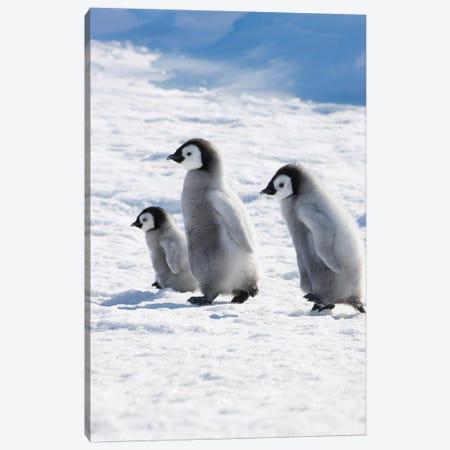 Emperor Penguin Chicks On Ice, Snow Hill Island, Antarctica Canvas Print #KES6} by Keren Su Canvas Wall Art