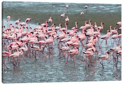 Flamingos, Walvis Bay, Erongo Region, Namibia Canvas Art Print