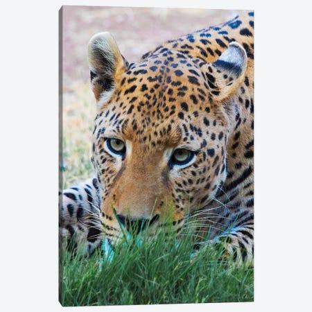 Leopard, Okonjima Nature Reserve. Otjozondjupa Region, Namibia. Canvas Print #KES75} by Keren Su Canvas Print