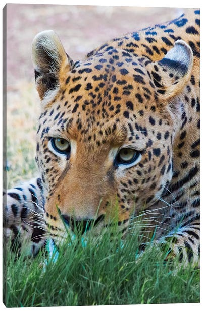 Leopard, Okonjima Nature Reserve. Otjozondjupa Region, Namibia. Canvas Art Print