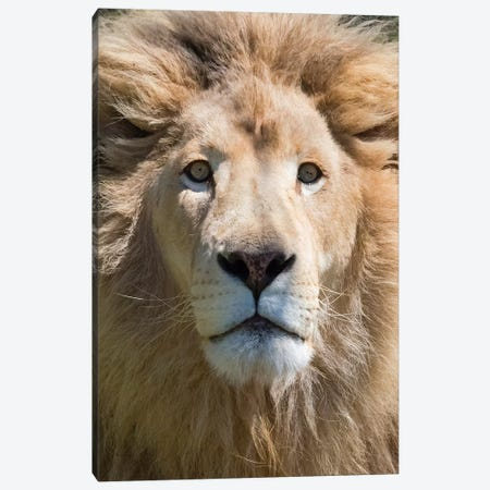 Lion. Western Cape Province, South Africa. Canvas Print #KES83} by Keren Su Canvas Art Print