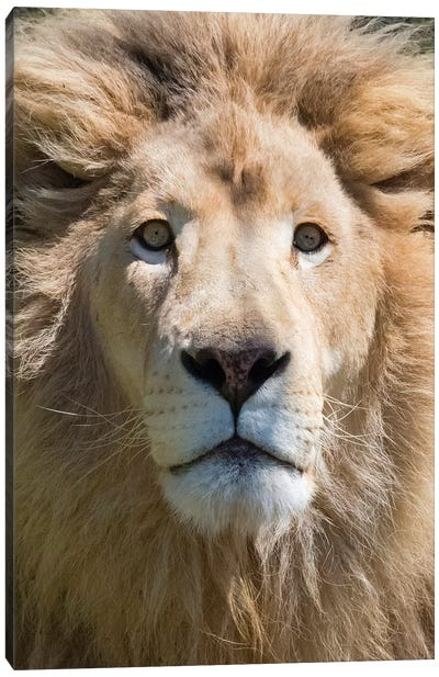 Lion. Western Cape Province, South Africa. Canvas Art Print