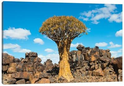 Quiver trees and rock piles in Kalahari Desert, Karas Region, Namibia Canvas Art Print