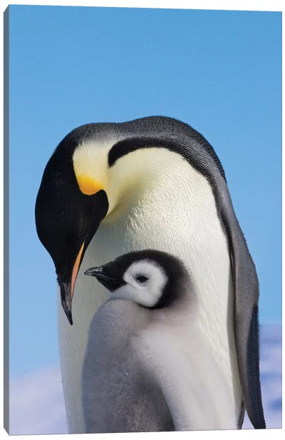 Emperor Penguin Parent With Chick On Ice, Snow Hill Island, Antarctica Canvas Art Print