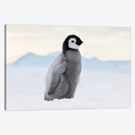 Emperor Penguin Chick Walks On Ice, Snow Hill Island, Antarctica Canvas Print #KES9} by Keren Su Art Print