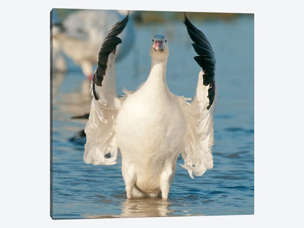 Snow Goose Flapping Wings, Skagit River, Washington by Kevin Schafer 1-piece Canvas Art Print
