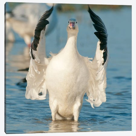 Snow Goose Flapping Wings, Skagit River, Washington Canvas Print #KEV5} by Kevin Schafer Canvas Print