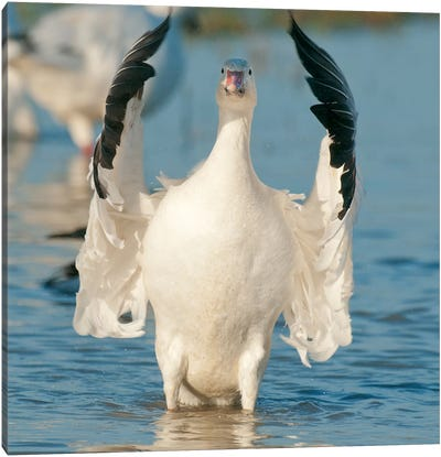 Snow Goose Flapping Wings, Skagit River, Washington Canvas Art Print